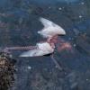 [Image du jour] Le chaînon manquant entre la mouette et le poulpe enfin trouvé !
