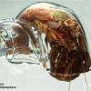 [Photo] Un bernard l'hermite dans sa coquille de verre