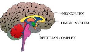 neocortex-systeme-limbique-li