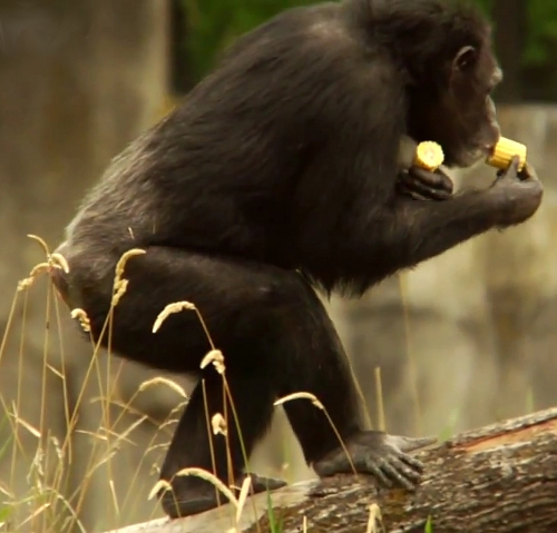 pouce-opposable-pied-chimpanze