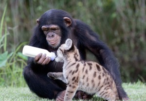 chimpanze-nourrit-puma