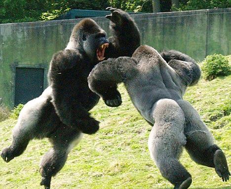 combat-gorilles