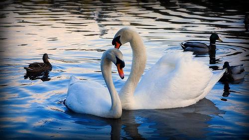 couple-cygnes