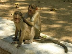 singes-epouillage
