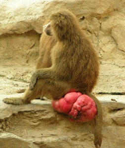 babouin-ovulation